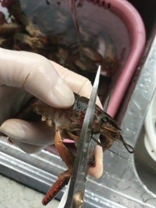 How to Buy and Clean Crayfish Like a Pro step12
