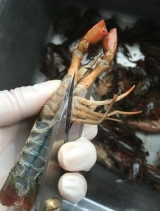 How to Buy and Clean Crayfish Like a Pro step6