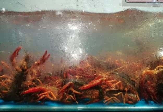 Everything You Need to Know about Crayfish in China raise in seafood pool Seafood pool Green shell at bottom right corner